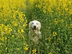 Canola flower and dog