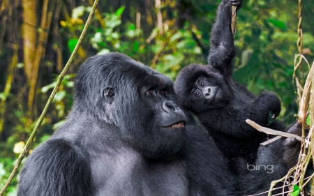 Male Silverback from Kwitonda Group with younger gorilla in Volcanoes National Park Rwanda - Kwitonda, National, Male, Younger, Group, Gorilla, With, Park, from, Silverback, In