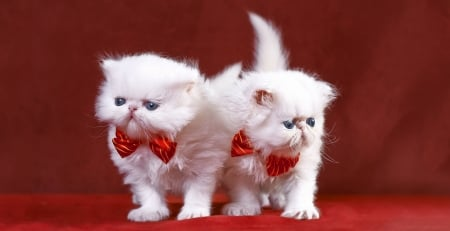 Kittens - red, bow, valentine, cat, animal, persian, kitten, white, couple, pisica