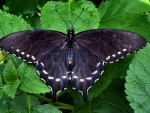 Common Swallowtail F