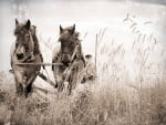 horses in monochrome