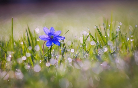 Blue - bokeh, blue flower, flowers, nature, drops, petals, blue