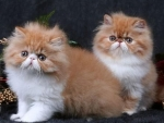 Orange & White Persian Kittens