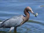 heron catching a fish