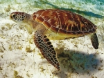 Sea Turtle Beneath the Ocean