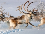 Reindeer in the countryside near Karasjok Finnmark Norway