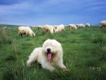 Sheepdog guards a flock of sheep in the Tatra Mountains Poland
