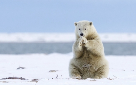 Iceland Bear Bears Animals Background Wallpapers On Desktop