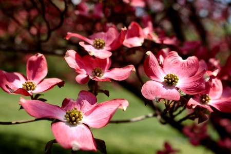 Pink Dogwood F - photo, romance, beautiful, floral, dogwood, photography, love, wide screen, flower, flowering tree, beauty, pink