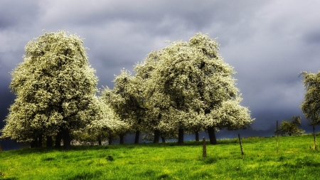 blossoming trees in a green meadow before a storm - blossom, green, trees, clouds, storm, meadow