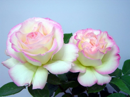 Sweet Couple - flowers, nature, petals, roses, two colors