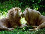 Beautiful Lions