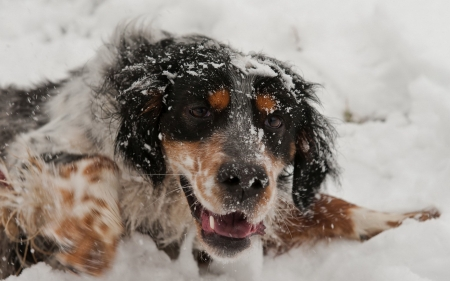 dog playing in the snow - face, canine, now, dog