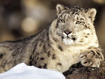 Snow Leopard King