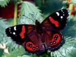 Beautiful Red Admiral