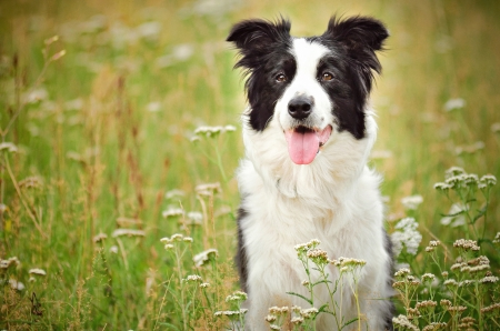 Border Collie - border, caine, black, tongue, animal, green, summer, collie, white, dog