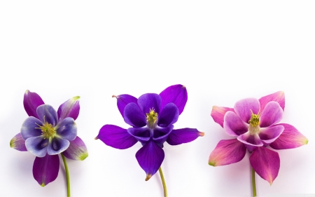 Columbines - columbine, purple, trio, flower, white, pink, blue