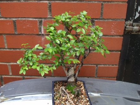 Chinese Elm bonsai - bonsai, tree, nature, Elm
