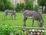 Beautiful Zebras