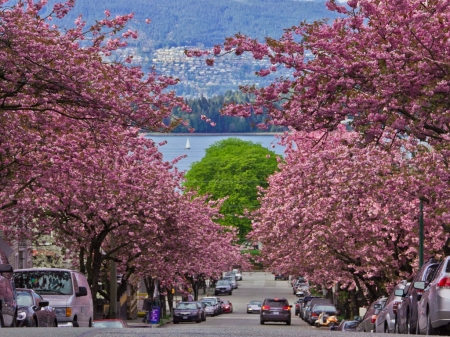 Vancouver Cherry Blossom Festival - washington dc, cars, city, strees, spring, trees, blooming