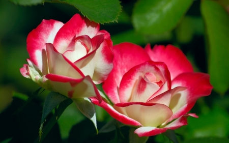 ROSES - COLORS, LEAVES, NATURE, PETALS
