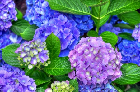 Hydrangea - hydrangea, green, flower, summer, pink, blue