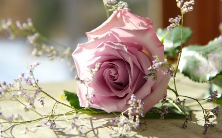 Beautiful pink rose - pretty, rose, scent, beautiful, fragrance, leaves, flower, petals, pink