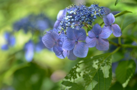 Hydrangea - hydrangea, green, flower, summer, skin, blue