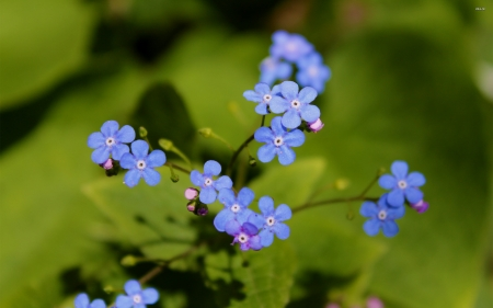 forget me not - flower, me, forget, not