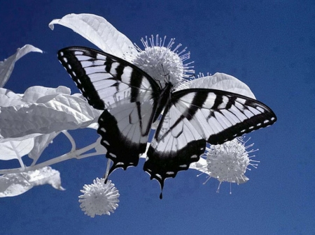 Black and white - black, sky, white, butterfly