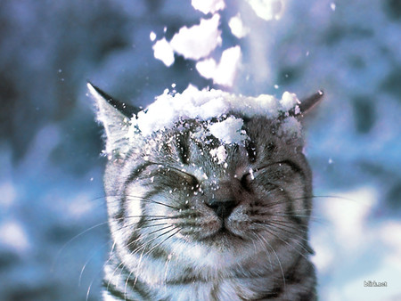 Cat in Snow - animal, snow, cat, feline, head, pet