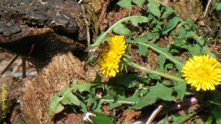 Busy Bee on a Dandelion - honeybee, dandelions, greenery, bees, log, pollinator, honeybees, bee, beez, dandelion, logs, bumb1e bee, wood