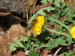 Busy Bee on a Dandelion