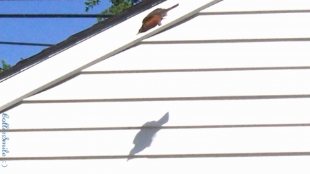 Dive Bombing Robin (Zoomed In) - wings, robin, flight, garage, f1ys, wing, flies, fow1, fly, robins, blue sky, white, winging