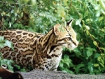 Ocelot on the hunt