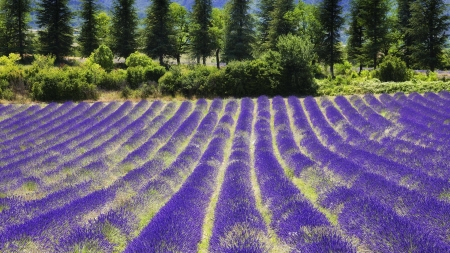 lavender field in provance - lavenders, rows, trees, field
