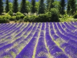 lavender field in provance