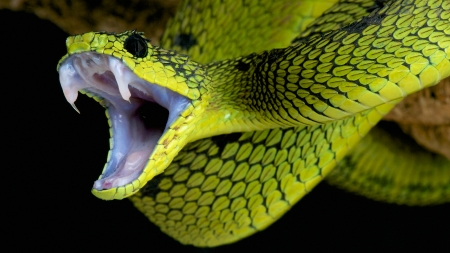 Snake - dangerous, mouth, striking, Snake, serpent, animal, green, venom, fangs, eyes, reptile, venomous