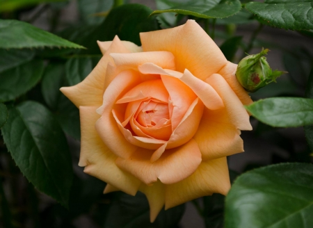 Lady Marmalade - rose, macro, flowers, yellow, nature, petals, buds