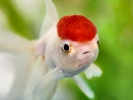 Red-capped Goldfish