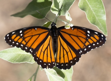 Viceroy Butterfly - wings, butterfly, orange, plants, nectar, insects, animal, leaf