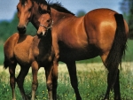 Mare and Foal - Horses F