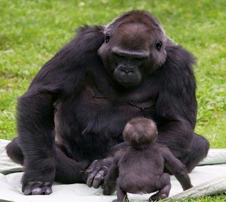 Giant love - primate, gorilla, Mother, baby