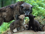 Wolve with Cubs
