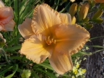 Fancy Daylily early morning