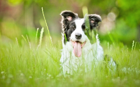 Border Collie - border, grass, caine, black, animal, green, summer, collie, white, dog