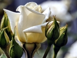 White Rose Between Rosebuds F
