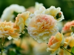 Peach/Yellow Roses