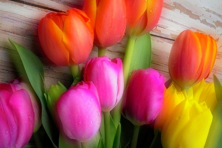 ✿⊱•╮Lovely Tulips╭•⊰✿ - lovely still life, photography, flowers, love four seasons, nature, spring, tulips