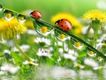 Ladybugs and water drops